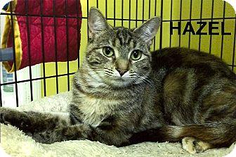 Domestic Shorthair Cat for adoption in Medway, Massachusetts - Hazel
