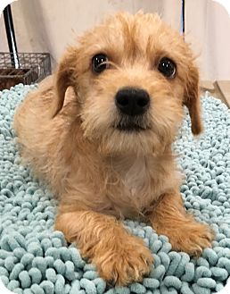 Cairn Terrier Mix Puppy for adoption in Santa Ana, California - Kiki