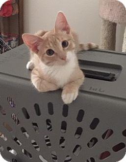Domestic Shorthair Kitten for adoption in Brea, California - RILEY
