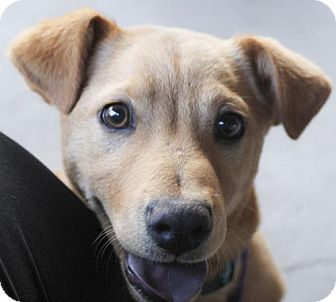 Retriever (Unknown Type) Mix Puppy for adoption in Plano, Texas - Merlin