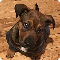 Adopt A Pet :: Bonga - Toms River, NJ
