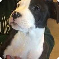 Adopt A Pet :: Sheena (Lunet's B&W girls) - Wenonah, NJ