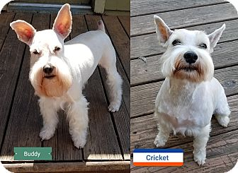 Miniature Schnauzer Dog for adoption in Southeastern, Kansas - Cricket & Buddy-ADopted!