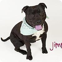 Staffordshire Bull Terrier Dog for adoption in Sacramento, California - *JIMMY
