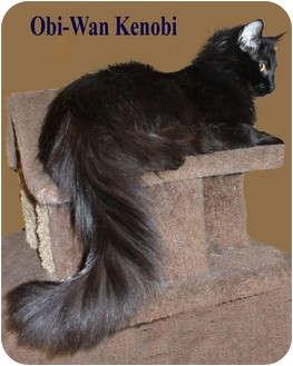 Domestic Longhair Cat for adoption in Bentonville, Arkansas - Hex