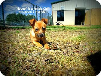 Chihuahua Mix Puppy for adoption in Gadsden, Alabama - Nugget