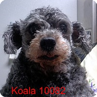 Adopt A Pet :: Koala - baltimore, MD