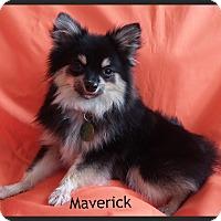 Adopt A Pet :: Maverick - Orange, CA