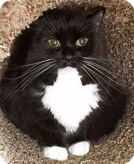 Domestic Longhair Cat for adoption in Schererville, Indiana - Rita