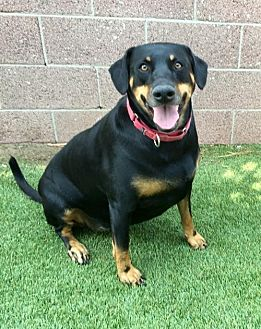 Doberman Pinscher/Shepherd (Unknown Type) Mix Dog for adoption in Anaheim, California - Kalani