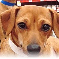 Adopt A Pet :: Lashes - Las Vegas, NV