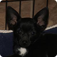 Adopt A Pet :: Samantha  chiweenie puppy - Arlington, WA