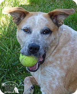 Australian Cattle Dog/Mixed Breed (Medium) Mix Dog for adoption in Marlinton, West Virginia - Jordan