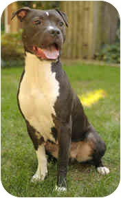 American Staffordshire Terrier/Pit Bull Terrier Mix Dog for adoption in Chicago, Illinois - Gypsy