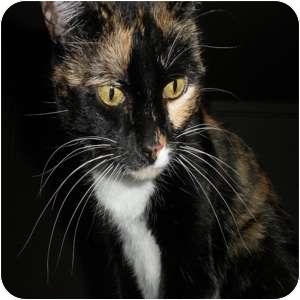 Domestic Shorthair Cat for adoption in Phoenix, Arizona - Ingrid