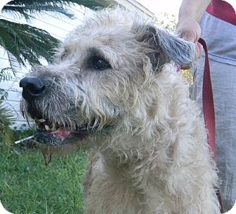 Labradoodle Dog for adoption in Jacksonville, Florida - Madeline