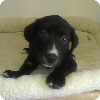 Labrador Retriever Mix Puppy for adoption in Waldorf, Maryland - Spot #413