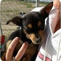 Adopt A Pet :: Sweet Pea - Seattle, WA