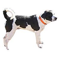 Adopt A Pet :: Sam (Samantha) - Copperas Cove, TX