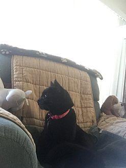 Domestic Shorthair Cat for adoption in Harbor City, California - Snowball