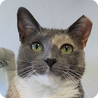 Domestic Shorthair Cat for adoption in Norwalk, Connecticut - Dina