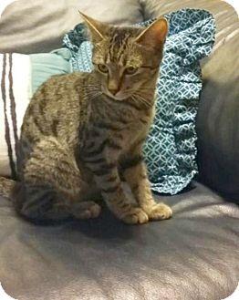 Domestic Shorthair Kitten for adoption in Sarasota, Florida - Harmony