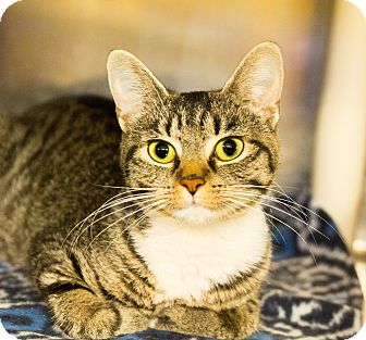 Domestic Shorthair Cat for adoption in Seville, Ohio - Polly Polydactyl