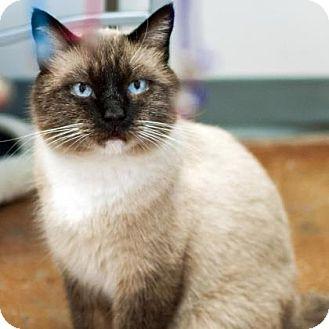 Siamese Cat for adoption in Denver, Colorado - Frosty