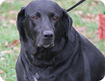 Labrador Retriever Mix Dog for adoption in Marietta, Ohio - Athena (Spayed)