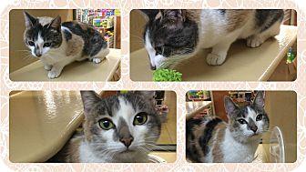 Calico Cat for adoption in Okotoks, Alberta - Tina
