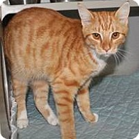 Adopt A Pet :: Orange Blossom - Chesapeake, VA