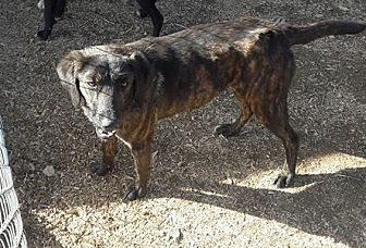 Labrador Retriever/Plott Hound Mix Dog for adoption in Wytheville, Virginia - Ally