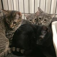 Domestic Shorthair Kitten for adoption in Amarillo, Texas - Gemma