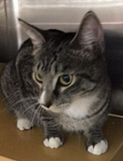 Domestic Shorthair Cat for adoption in oakland park, Florida - Target