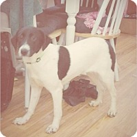 Beagle/English Pointer Mix Dog for adoption in Madison, Tennessee - Prissy - playful & cuddly