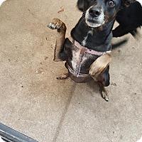 Adopt A Pet :: Caroll - Lake In The Hills, IL