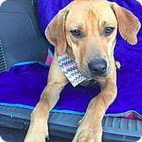 Adopt A Pet :: Saffron - Little Rock, AR