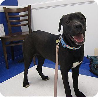 Labrador Retriever Mix Dog for adoption in Alexandria, Virginia - Macy