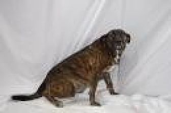 Shepherd (Unknown Type)/Plott Hound Mix Dog for adoption in Jackson, Mississippi - Simon