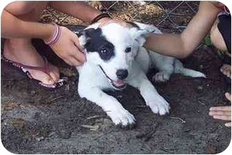 Cattle Dog Mix Puppy for adoption in Groveland, Florida - Dally