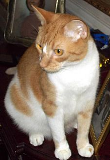 Domestic Shorthair Cat for adoption in DeLand, Florida - SQUEAKY