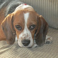 Beagle Dog for adoption in Franklin, Virginia - Mandy