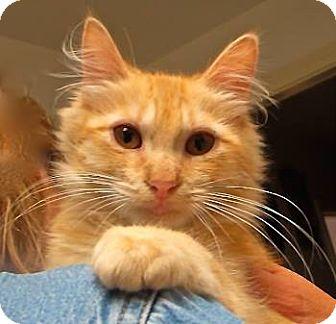 Maine Coon Kitten for adoption in Davis, California - Butterfield