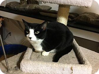 American Shorthair Cat for adoption in Medford, New York - Bustopher