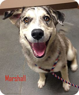 Anatolian Shepherd Mix Dog for adoption in Idaho Falls, Idaho - Marshall