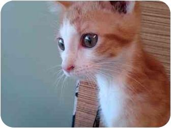 Domestic Shorthair Kitten for adoption in Erie, Pennsylvania - Levi Loewenstein