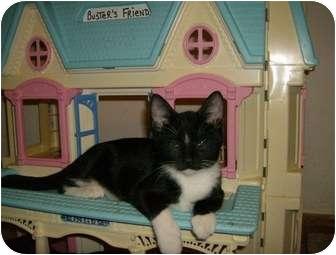 Domestic Shorthair Kitten for adoption in Houston, Texas - Pebbles