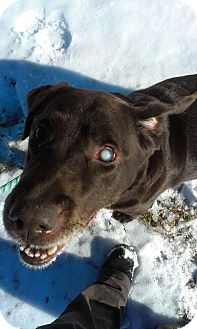 Labrador Retriever Mix Dog for adoption in Lake Odessa, Michigan - Scuba Steve