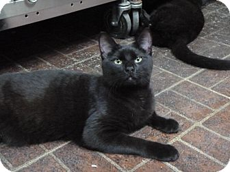 Domestic Shorthair Cat for adoption in St. Petersburg, Florida - Black Orchid