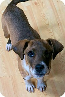 Hound (Unknown Type) Mix Puppy for adoption in Parker, Colorado - Chloe